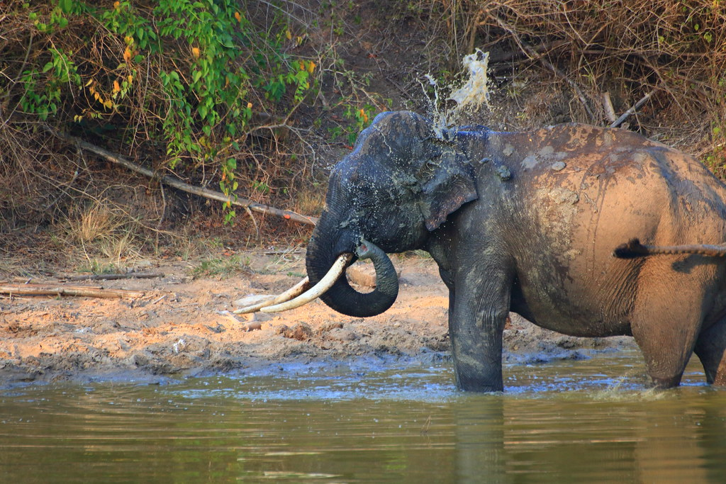 Tusker bathing