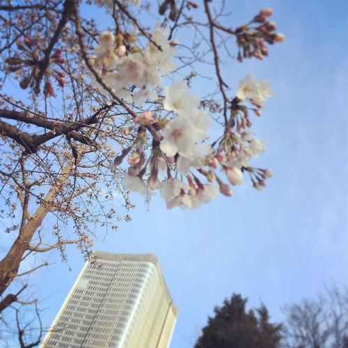 今年 最初の桜