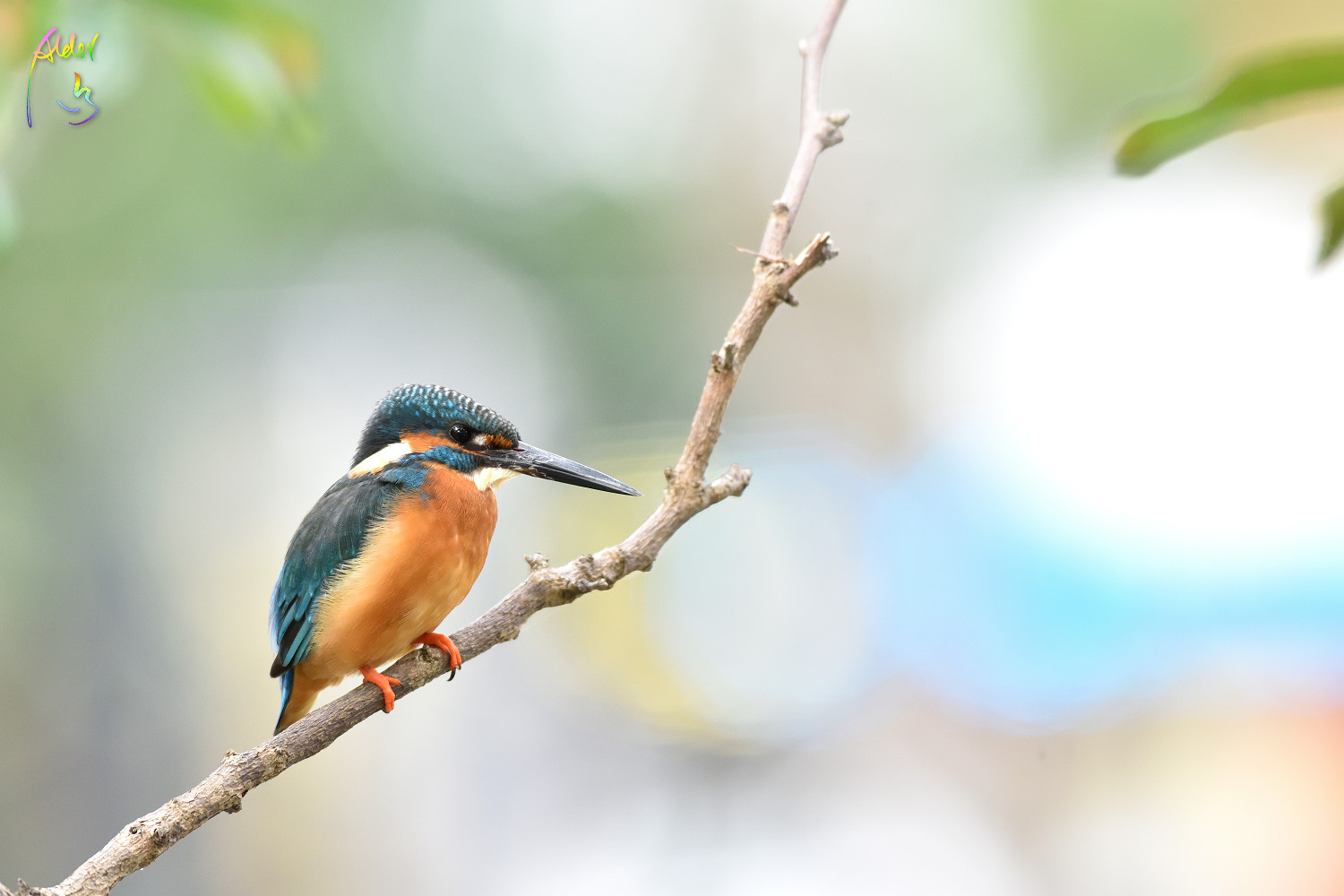 Common_Kingfisher_0367