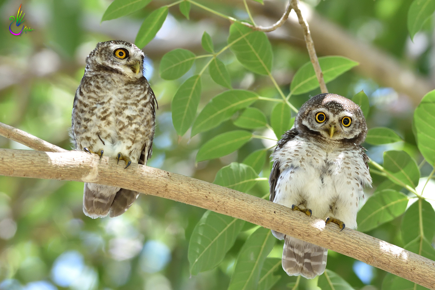 Spotted_Owlet_9300