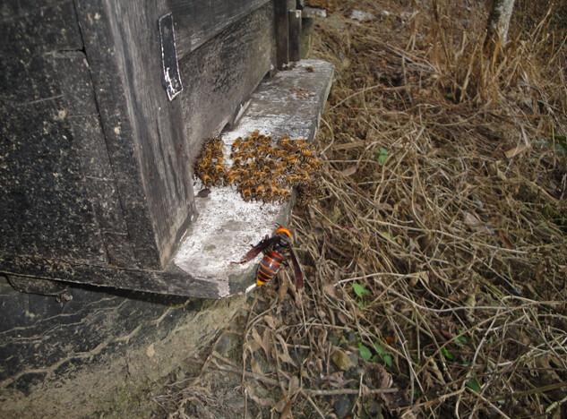 襲擊養蜂場的中華大虎頭須及時撲殺,往往成為蜂農泡酒的最好補品,攝影:陸聲山。