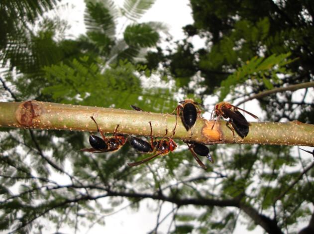 兇猛的黑絨虎頭蜂群聚取食樹液,仍相當具有警戒性與攻擊性,攝影:陸聲山。