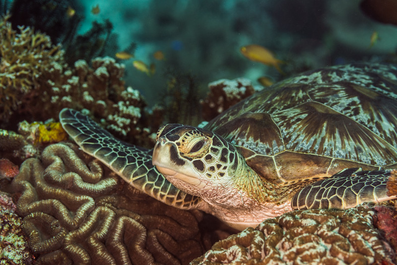 Sukellus Filippiinit | Kilpikonna