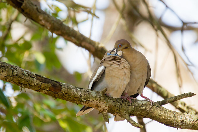 White-winged Dove Mating Pair