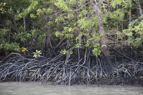 Mangroves at Sungei Besar, Noordin Beach, Pulau Ubin after oil spill in East Johor Strait