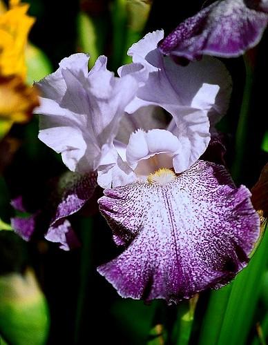 Les Iris plicata - une longue histoire et un bel exemple d'évolution 21351252295_0271a27e03