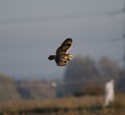 Short Eared Owl | by markhows