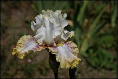 Les Iris plicata - une longue histoire et un bel exemple d'évolution 20593174913_daaf2384ba