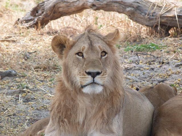 León macho en Botswana (Safari móvil con Mopane)
