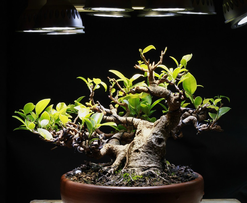 Indoor Bonsai under LED lights. - Page 16 21905922779_67ede02fd8_c