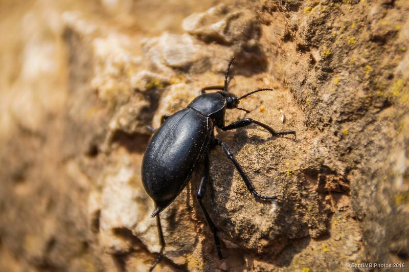 Escarabajo nauseabundo trepando por una pared