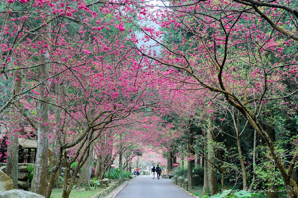 taiwan-cherry-blossom-couple