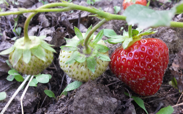 three strawberries on a vine, two white and one bright red