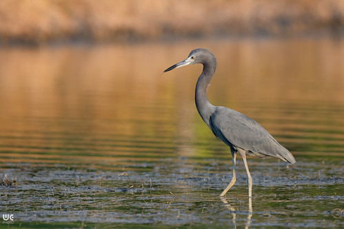 Little blue heron (Egretta caerulea) | by Brummel2010