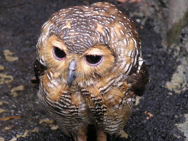 owl - Taman safari | belgianchocolate | Flickr