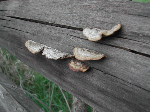 Fungus on the Fence | by ricko