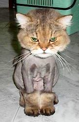 Shaved Cat | by Rosemobile
