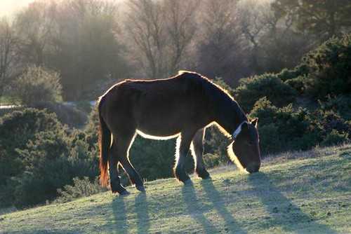 New Forest Pony | by boncey