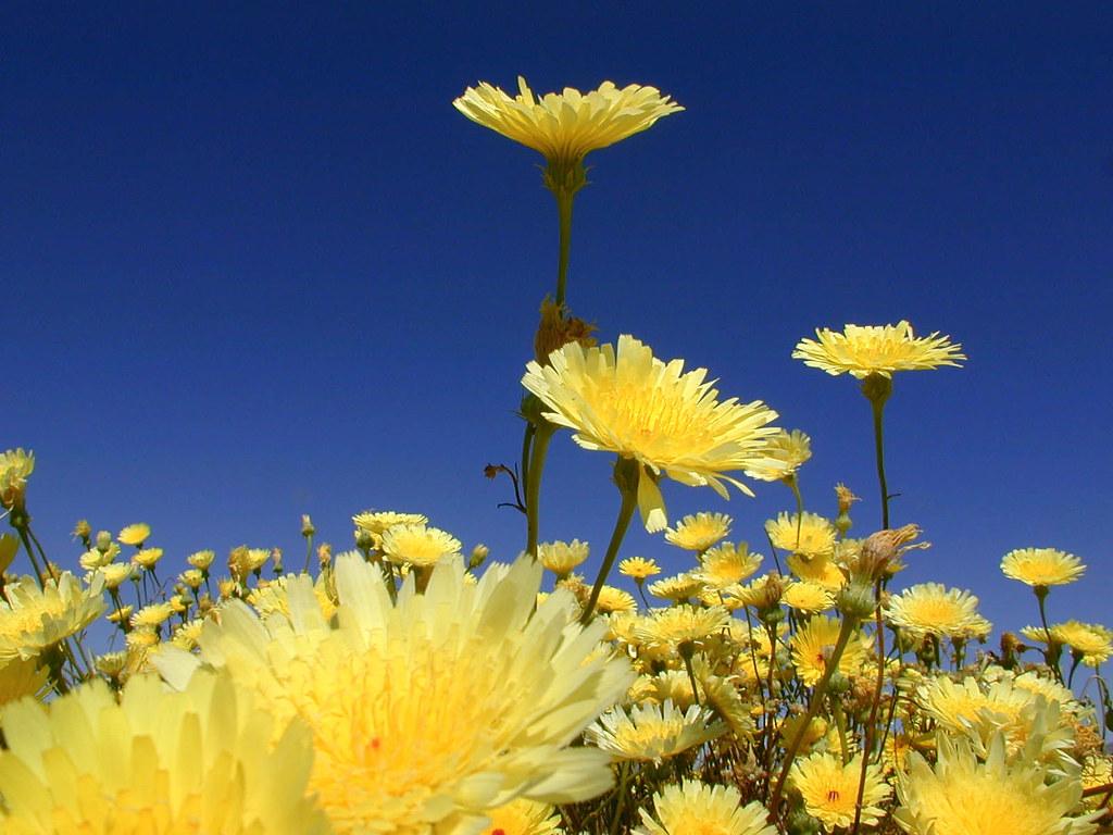 Desert Dandelion Desert Dandelions In The Pinto Valley