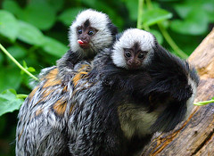 Geoffroy's Marmoset twins | by Chronomancer