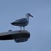 Seagull in Lyme Regis, UK