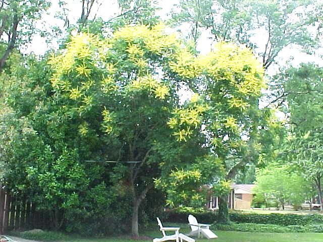 Yellow Flowering Tree Nice Ornamental Tree Flowering