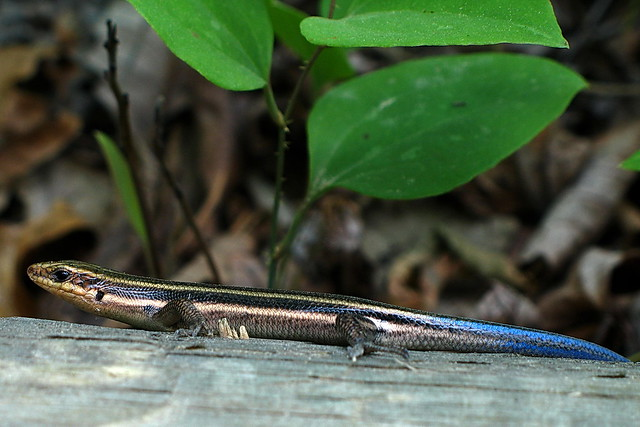 how to catch a blue tail lizard