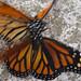 monarcas03