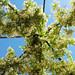 A canopy of jasmine