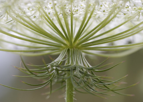 Queen Anne's Lace Stems | by Richard-