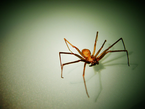 brown recluse dont worry its dead after i freed it
