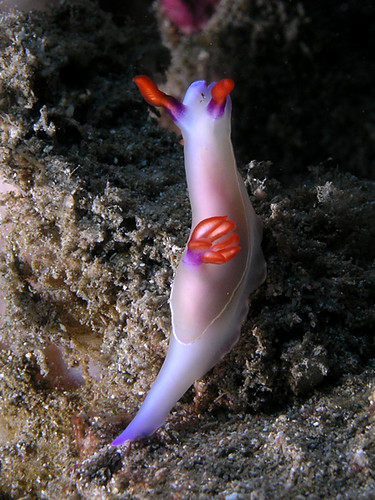 Hypselodoris nudibranch | by Nick Hobgood