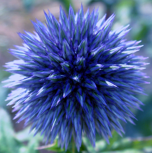 Irish Summer Globe Thistle 169 All Rights Reserved By Me