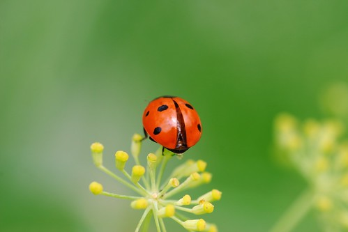 Coccinelle | by AmUnivers