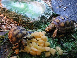 Tiny tortoises | by orangebrompton