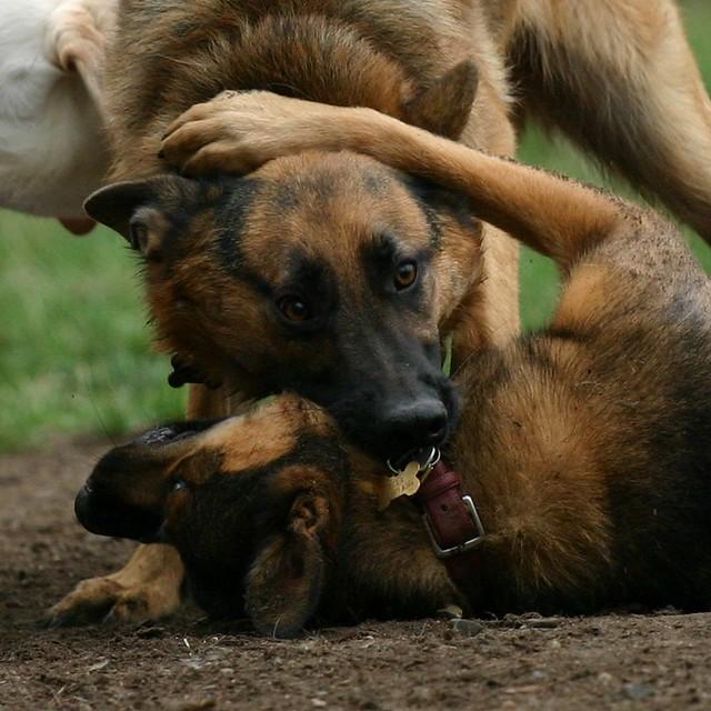 Good Family Dogs Australia