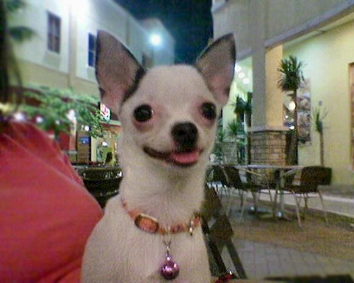 spotted chihuahua sissy my gorgeous spotted chihuahua i love my little 851