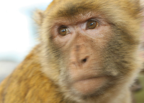 Barbary Macaque | by DavidDennisPhotos.com