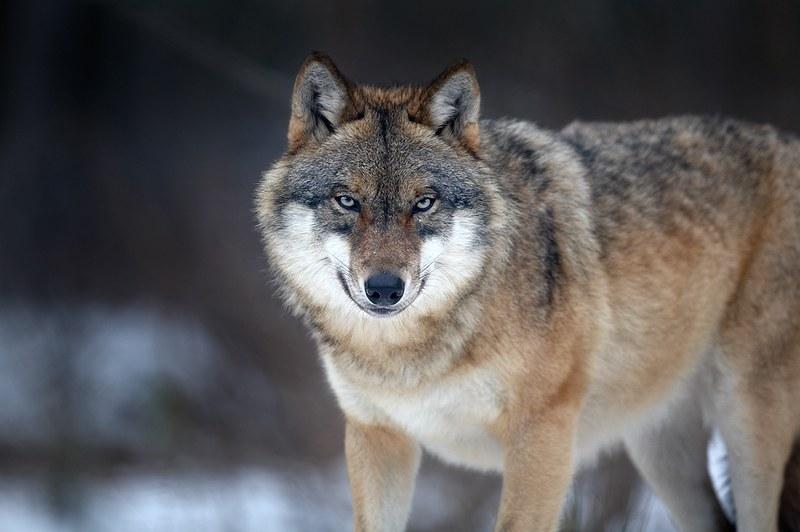 Wily Werewolf — это хитрый оборотень