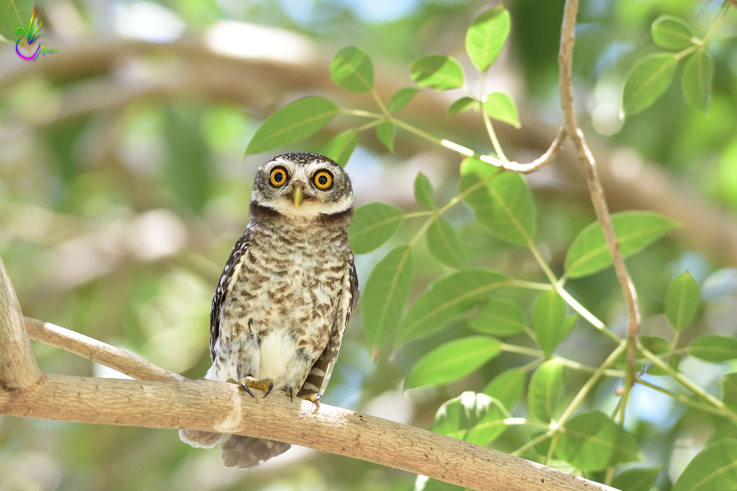 Spotted_Owlet_9182