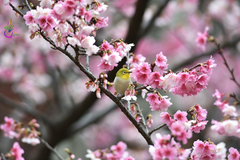 Sakura_White-eye_0321
