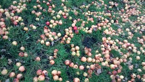apples Jan 17 (2)