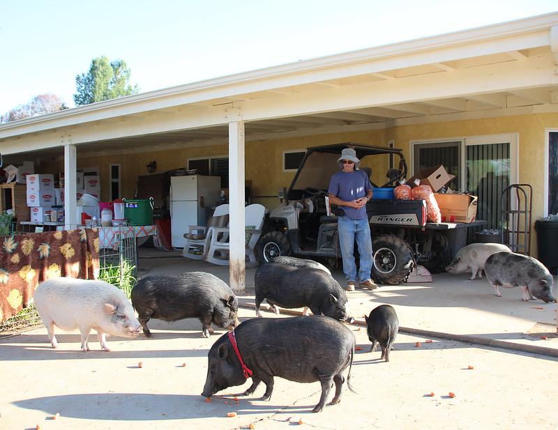 Grazin' pig Rescue