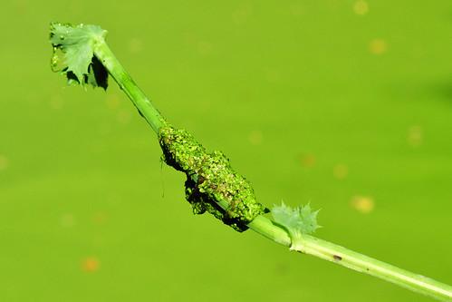 Kleine Wasserlinse Lemna minor Entengrütze Entengrün kulinarisch schmackhaft gesund Blütenpflanze Schadstoffe Foto Brigitte Stolle September 2015
