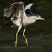 Adult Black Crowned Night Heron