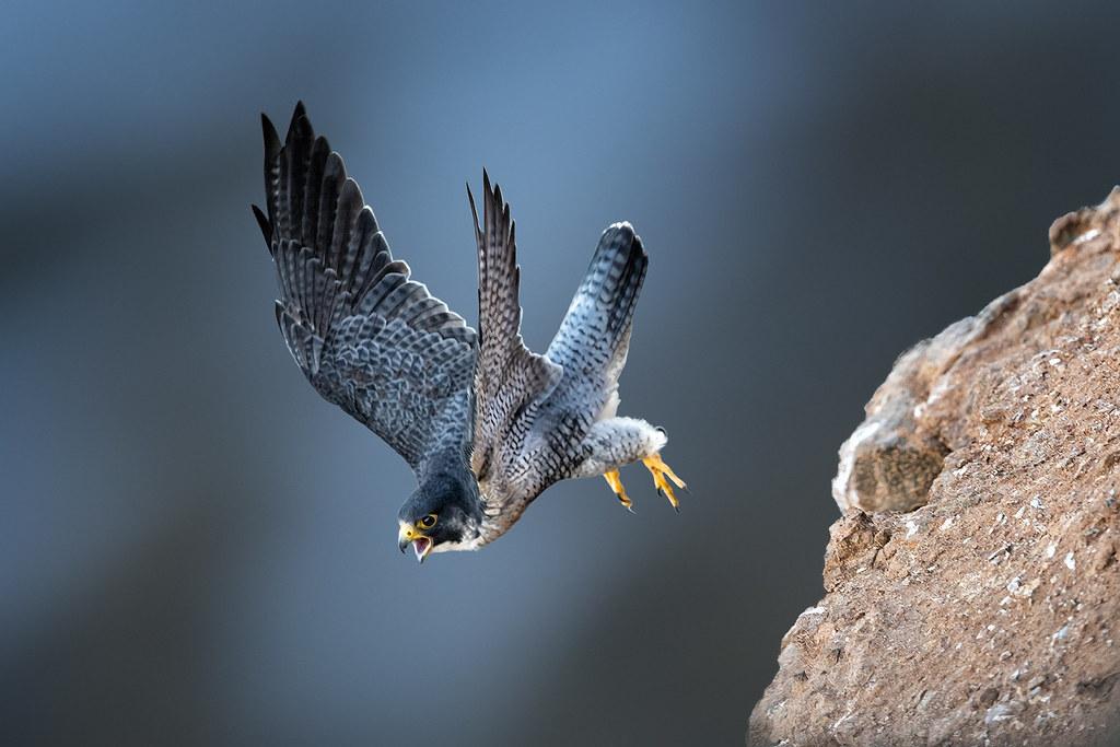 Fast-flying Falcon | Peregrine Falcon Falco peregrinus ...