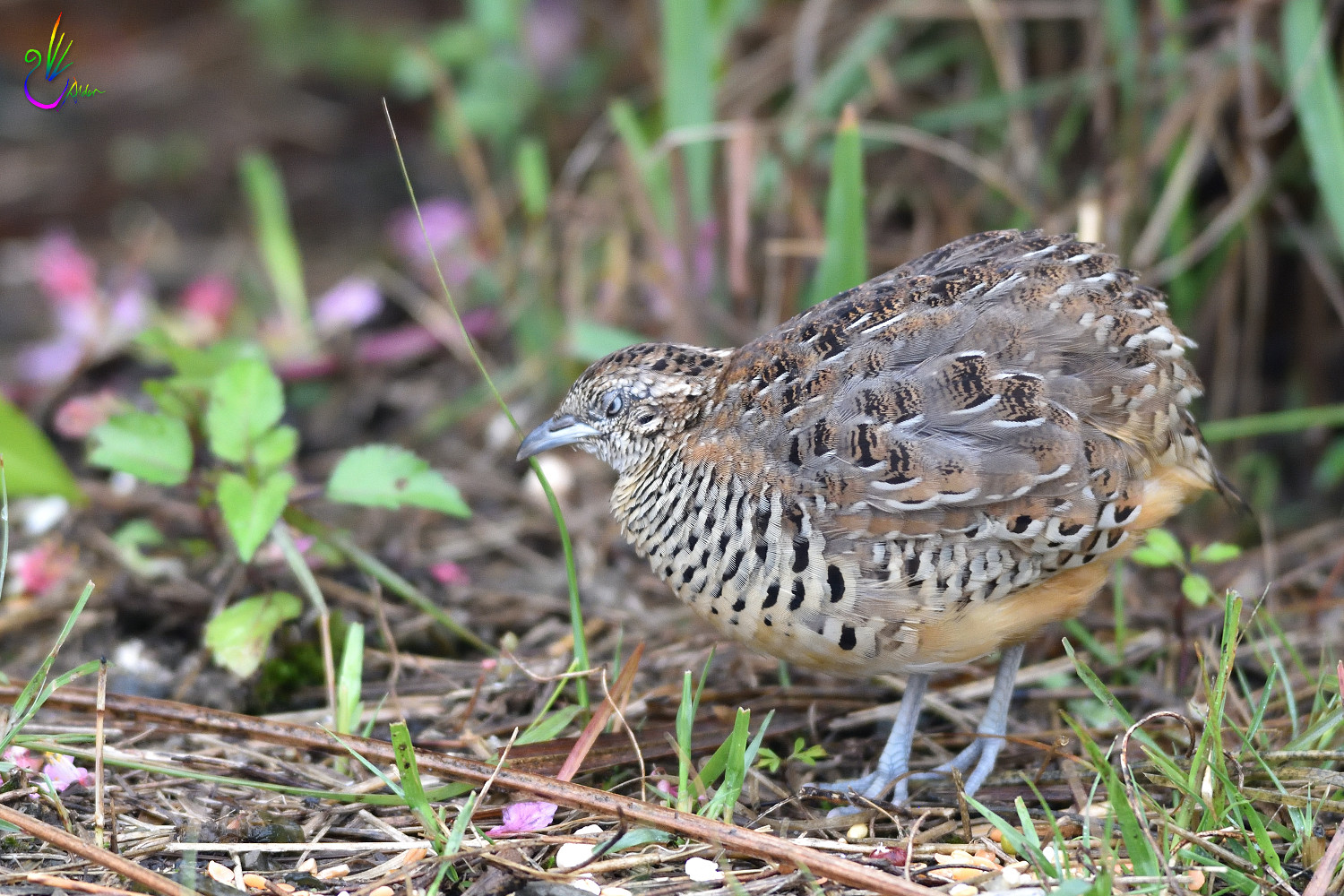 Barred_Buttonquail_7426