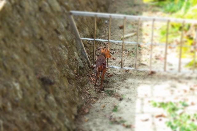 被狗追,無路可逃的山羌,該往何處去?圖片來源:壽山國家自然公園籌備處提供