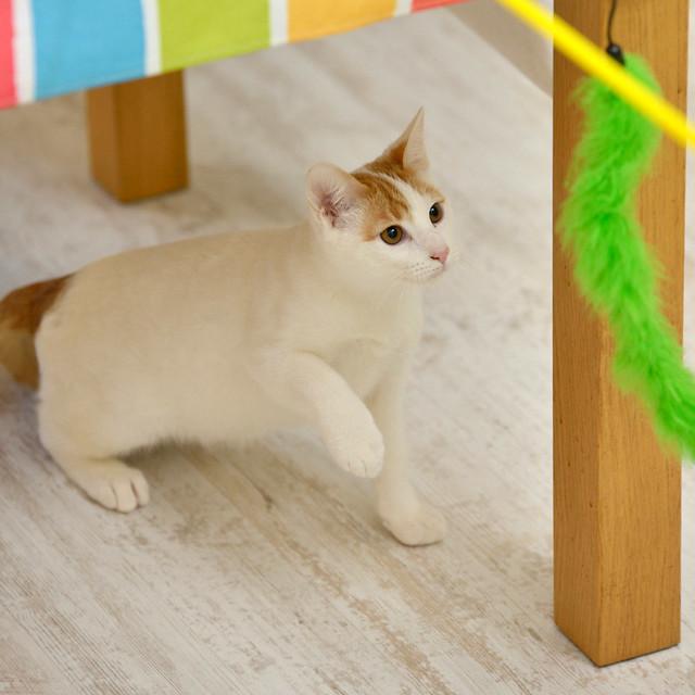 Gary, gatito blanco y naranja cruce Van Turco esterilizado muy activo nacido en Julio´16, en adopción. Valencia. ADOPTADO. 31590424501_be13c33604_z