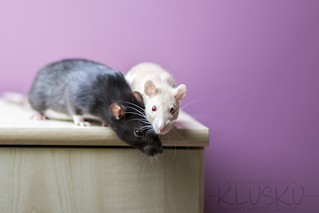 6/52 weeks of rats